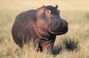 3043916-0248336982-Hippo