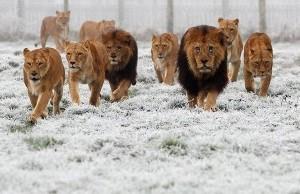 lion-troop_1134072i